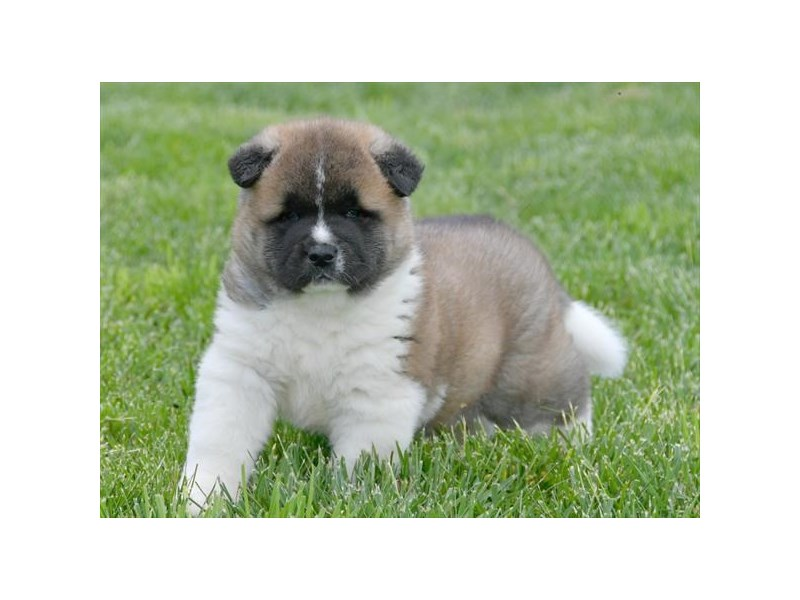 Akita-Male-Brown-2371407-The Barking Boutique