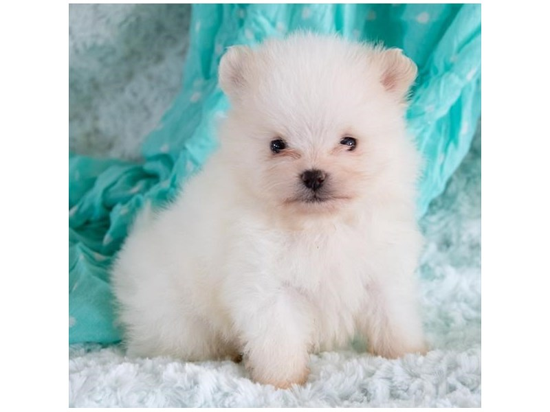 Pomeranian-Male-White / Cream-2376812-The Barking Boutique