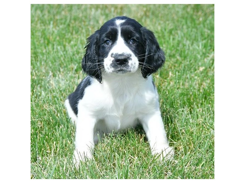 English Springer Spaniel – Grace