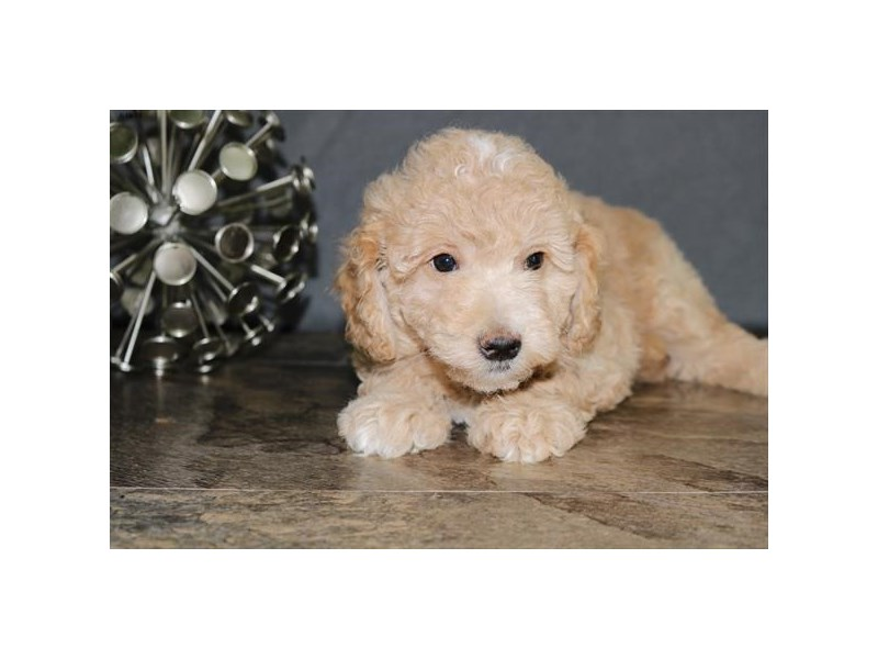 F1B Mini Goldendoodle-Female-Cream-2389191-The Barking Boutique