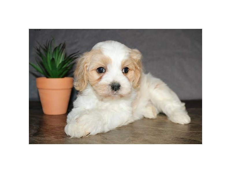 Cavachon-Male-Cream / White-2389196-The Barking Boutique