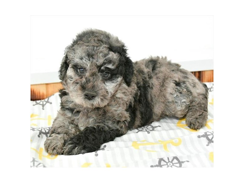 Miniature Poodle-Male-Blue Merle-2389198-The Barking Boutique