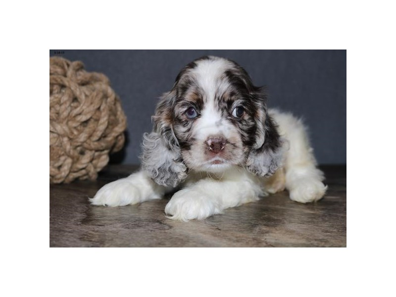 F1b Cockapoo-Male-White / Chocolate Merle-2389200-The Barking Boutique