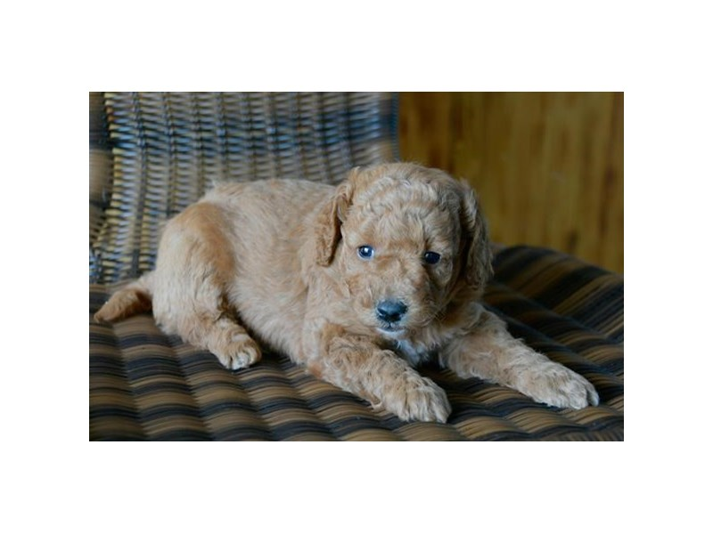 F1B Mini Goldendoodle-Male-Red-2389325-The Barking Boutique
