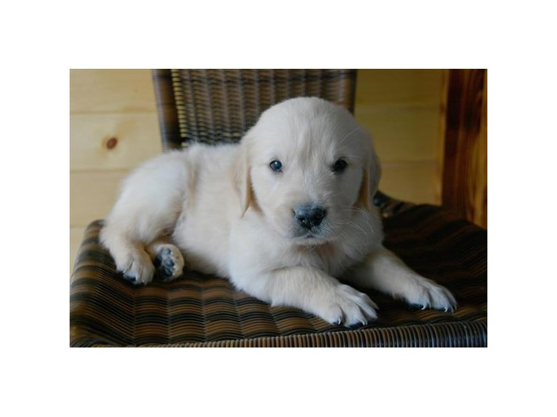 Golden Retriever-Male-Light Golden-2389326-The Barking Boutique