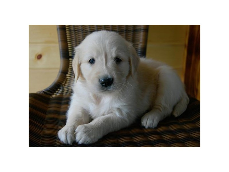 Golden Retriever-Female-Light Golden-2389327-The Barking Boutique