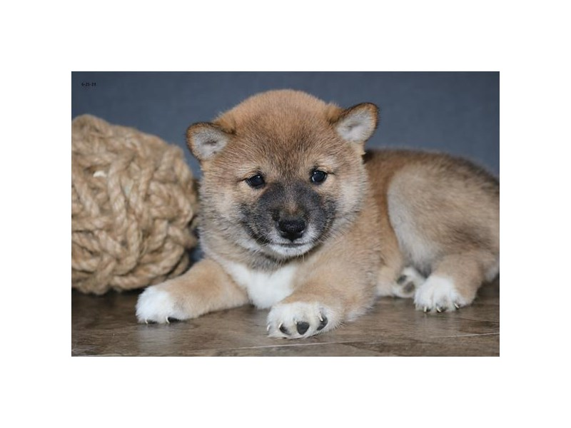 Shiba Inu-Female-Red-2394265-The Barking Boutique