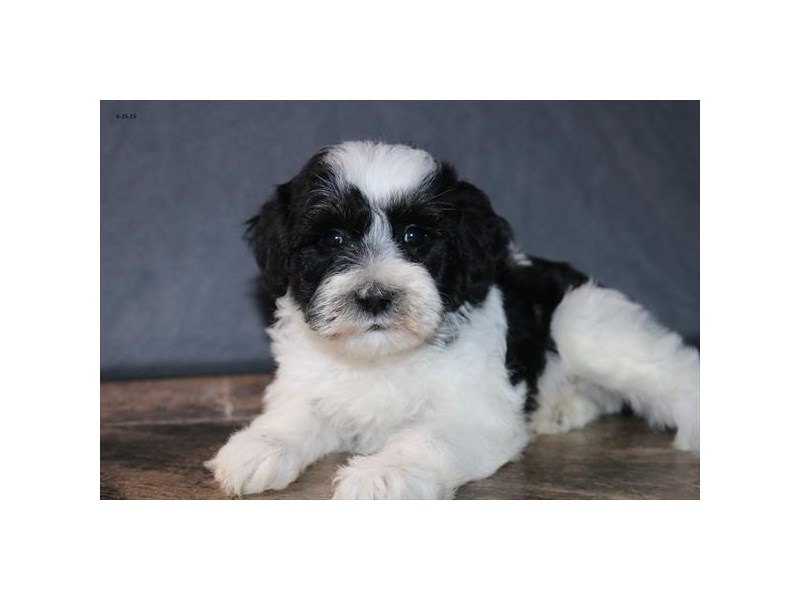 Poodle/Miniature Schnauzer-Male-Black / White-2394356-The Barking Boutique