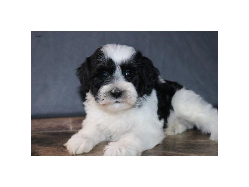 Poodle/Miniature Schnauzer – Buddy