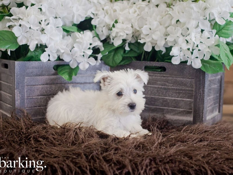 West Highland Terrier-Female-White-2394365-The Barking Boutique