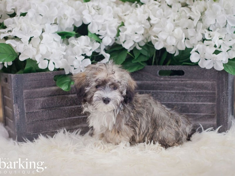 Maltese/Havanese-Male-tri color-2393561-The Barking Boutique