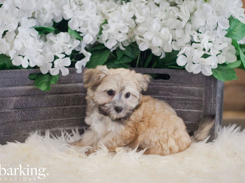 Havanese-Female-tan-2393565-The Barking Boutique