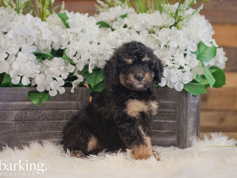 F1B Mini Bernedoodle-Male-Phantom Tri color-2393640-The Barking Boutique
