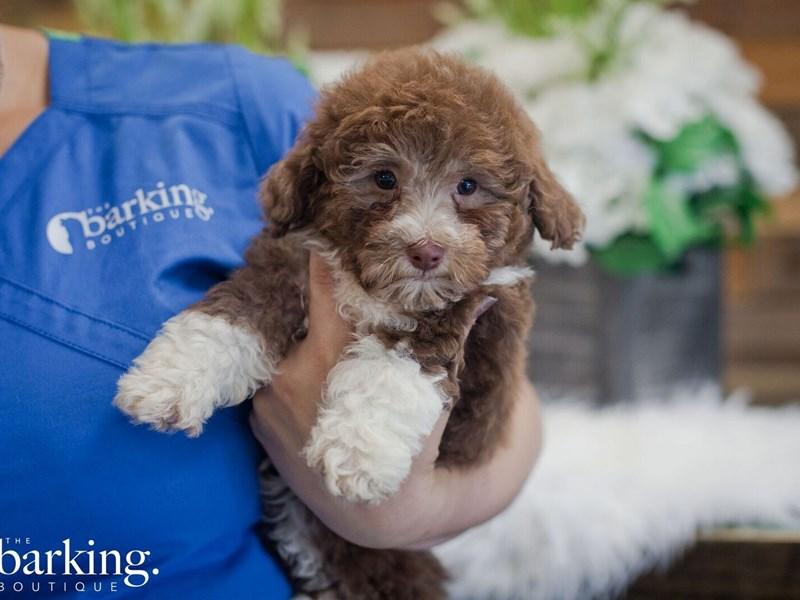 F1B Mini Bernedoodle-Female-Choc. and white-2393653-The Barking Boutique