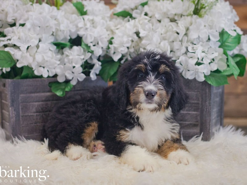 Bernadoodle-Female-Black Tri-2392797-The Barking Boutique