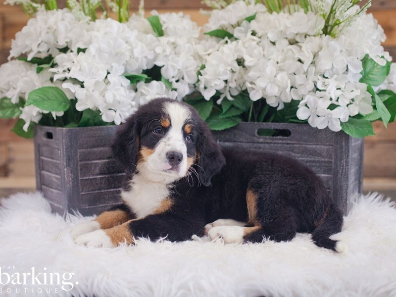 Bernese Mountain Dog-Male-Black Tri-2392836-The Barking Boutique