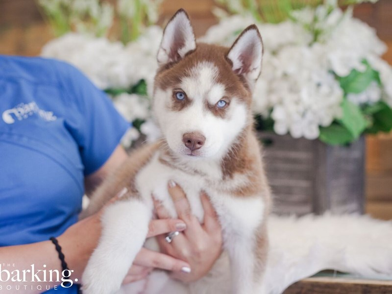 Siberian Husky-Female-Red / White-2389193-The Barking Boutique