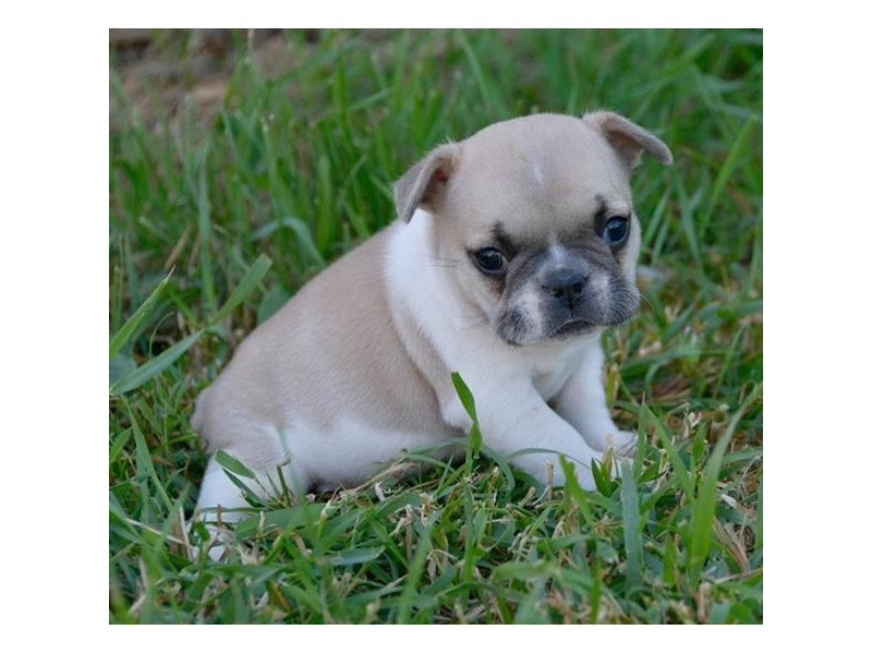 French Bulldog-Female-Blue Fawn-2400656-The Barking Boutique