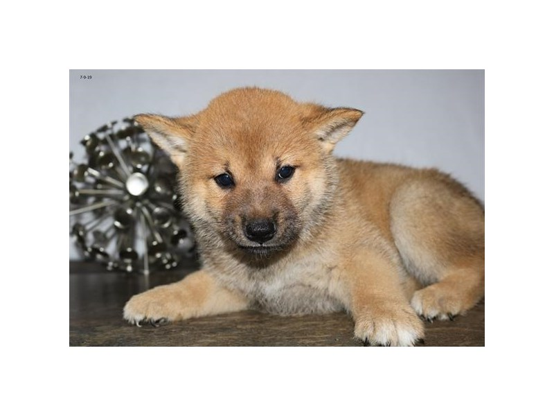 Shiba Inu-Male-Red-2406702-The Barking Boutique