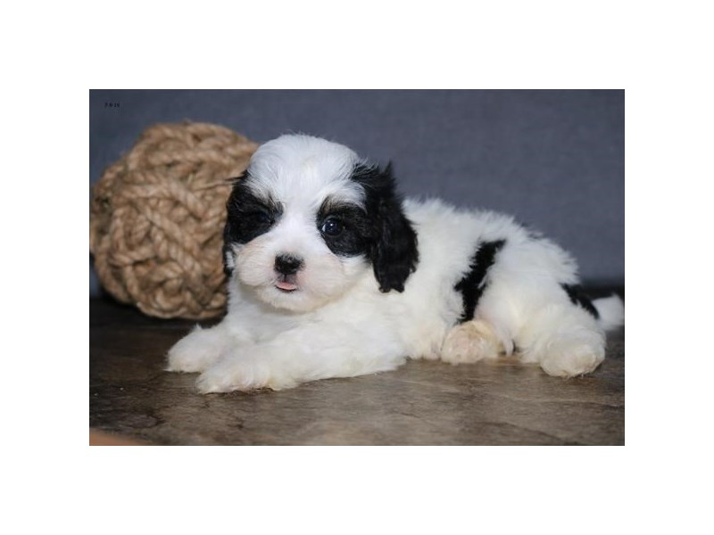 Cavachon-Male-Black / White-2406706-The Barking Boutique