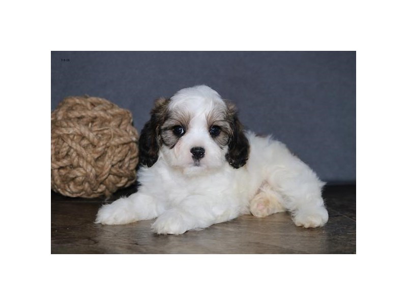 Cavachon-Male-Sable / White-2406707-The Barking Boutique