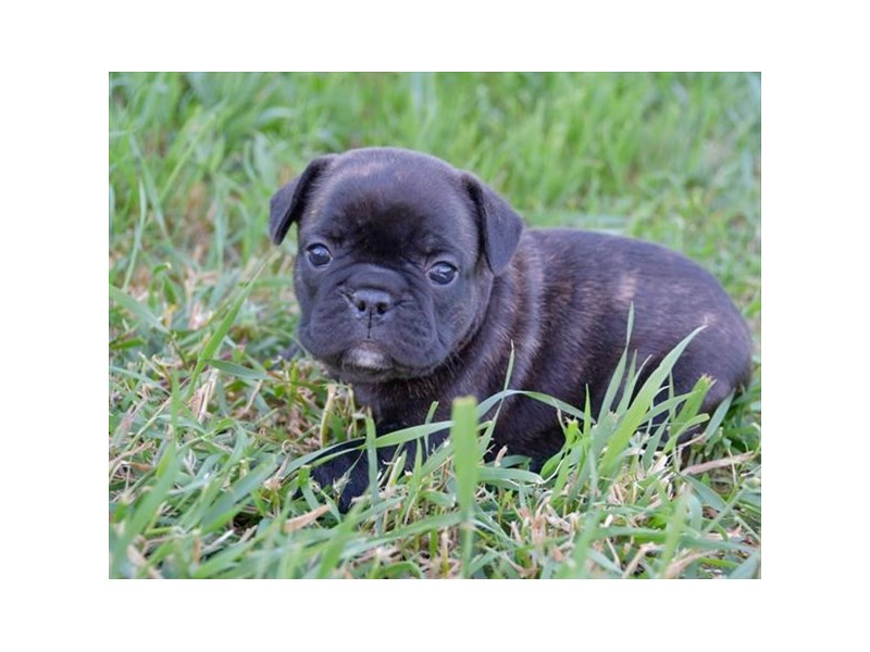French Bulldog-Female-Brindle-2406708-The Barking Boutique