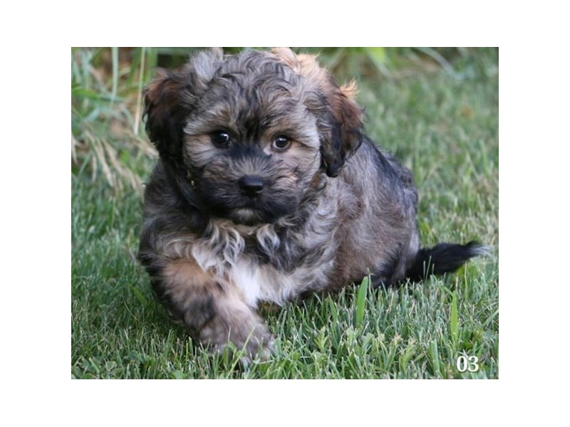 Havanese-Male-Sable-2406867-The Barking Boutique