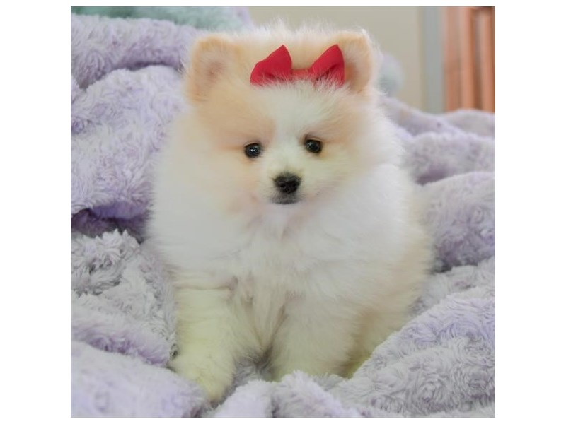 Pomeranian-Female-White-2406870-The Barking Boutique