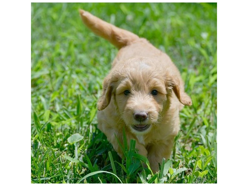 F1B Mini Goldendoodle – Scar