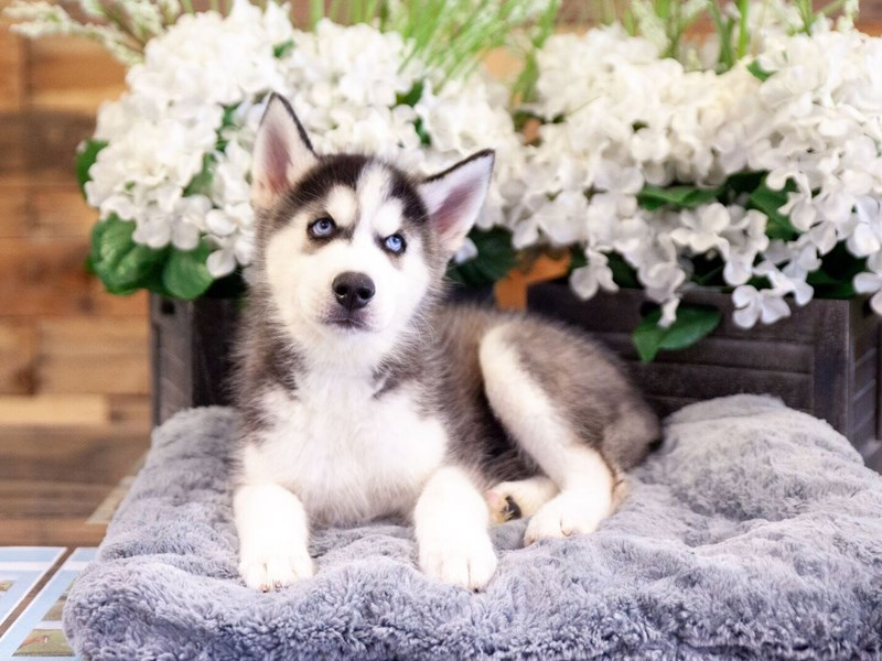 Siberian Husky-Male-Black / White-2406704-The Barking Boutique