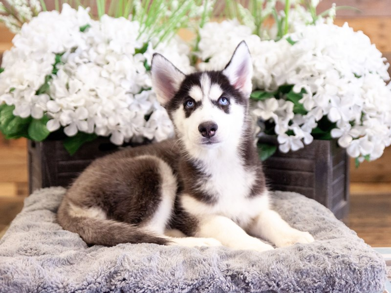 Siberian Husky-Female-Black / White-2406703-The Barking Boutique