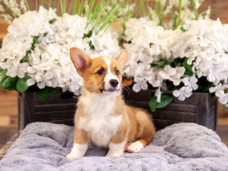 Pembroke Welsh Corgi-Female-Red / White-2406699-The Barking Boutique