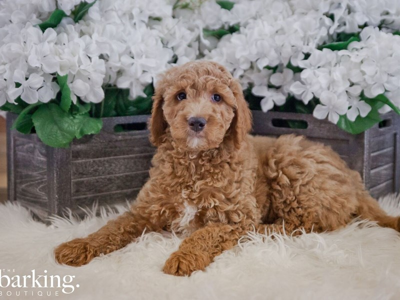 F1B Standard Goldendoodle-Male-Red-2382389-The Barking Boutique