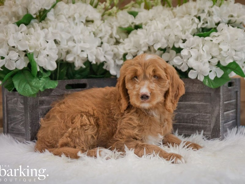 F1B Standard Goldendoodle-Female-Red-2382392-The Barking Boutique