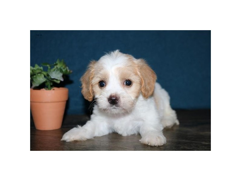 Cavachon-Male-Tan / White-2412877-The Barking Boutique