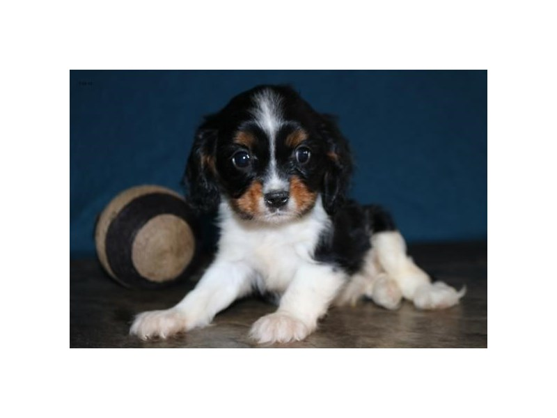 Cavalier King Charles Spaniel-Male-Tri-Colored-2412878-The Barking Boutique