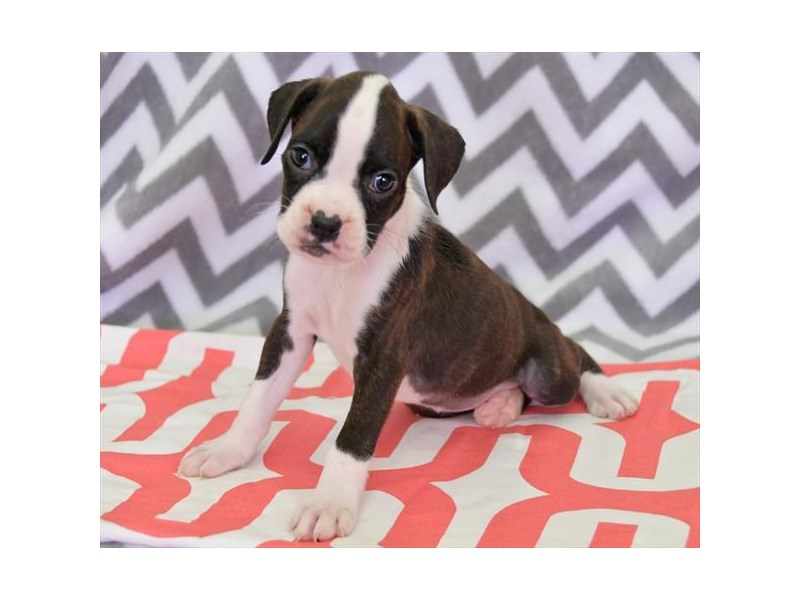 Boxer-Female-Black / Brindle-2412883-The Barking Boutique
