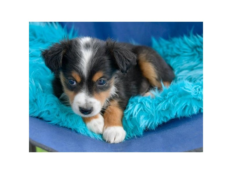 Toy Australian Shepherd-Male-Tri-Colored-2412900-The Barking Boutique