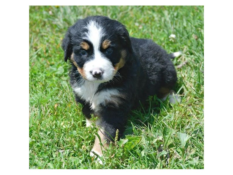 Bernese Mountain Dog-Male-Tri-Colored-2412904-The Barking Boutique