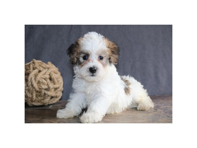 Schnoodle-Male-Sable-2412905-The Barking Boutique