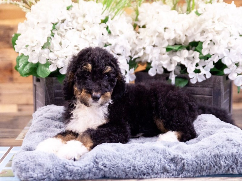 F1B Standard Bernadoodle-Female-Tri Color-2404586-The Barking Boutique