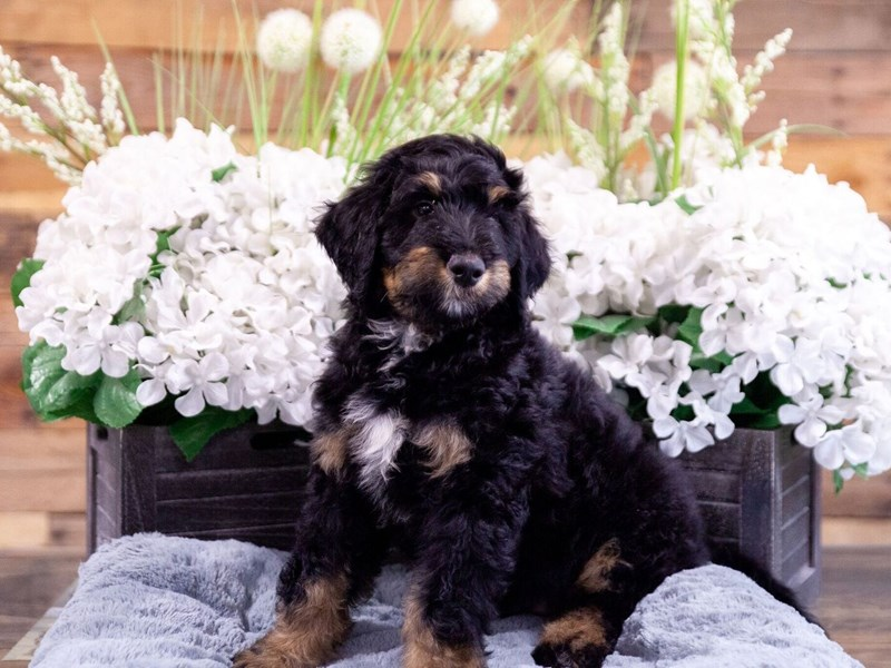F1B Standard Bernadoodle-Male-Tri Color-2404584-The Barking Boutique