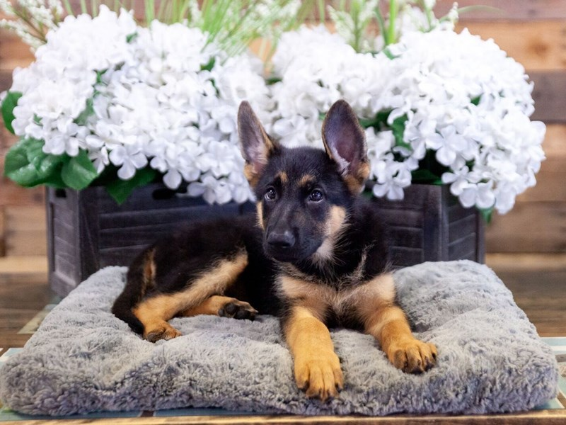 German Shepherd – North