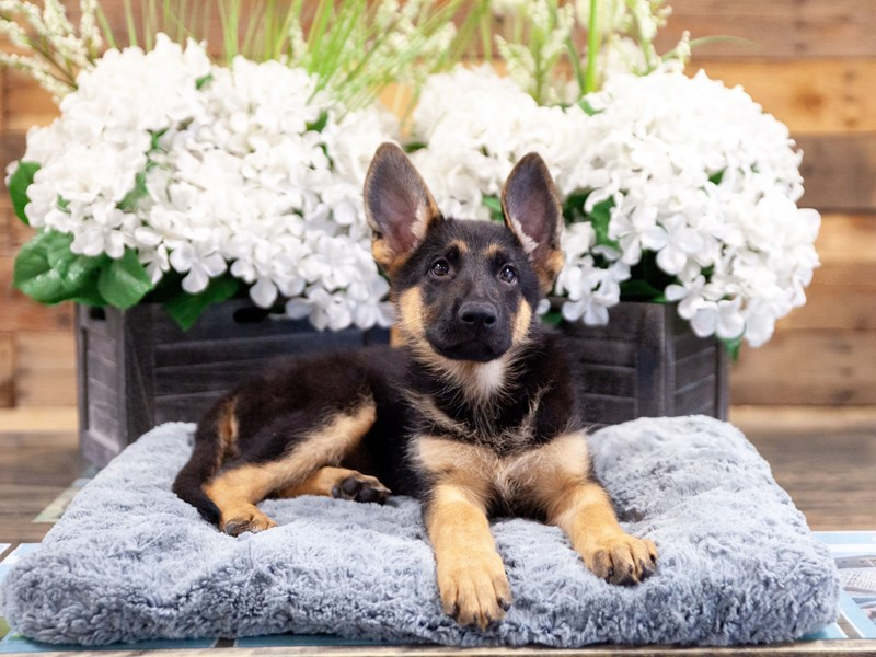 German Shepherd-Male-Black and Tan-2404570-The Barking Boutique