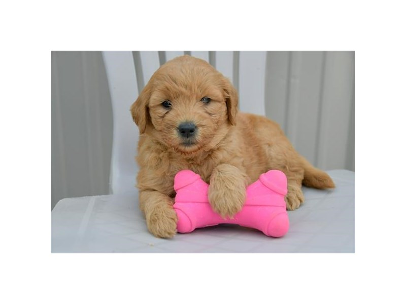 Mini Goldendoodle – Cherry