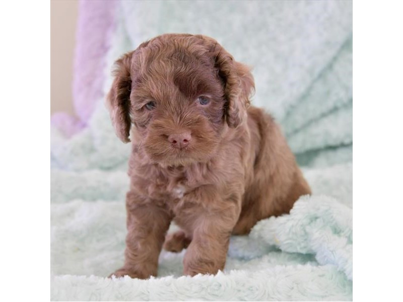 Cock A Poo-Male-Chocolate Merle-2419099-The Barking Boutique