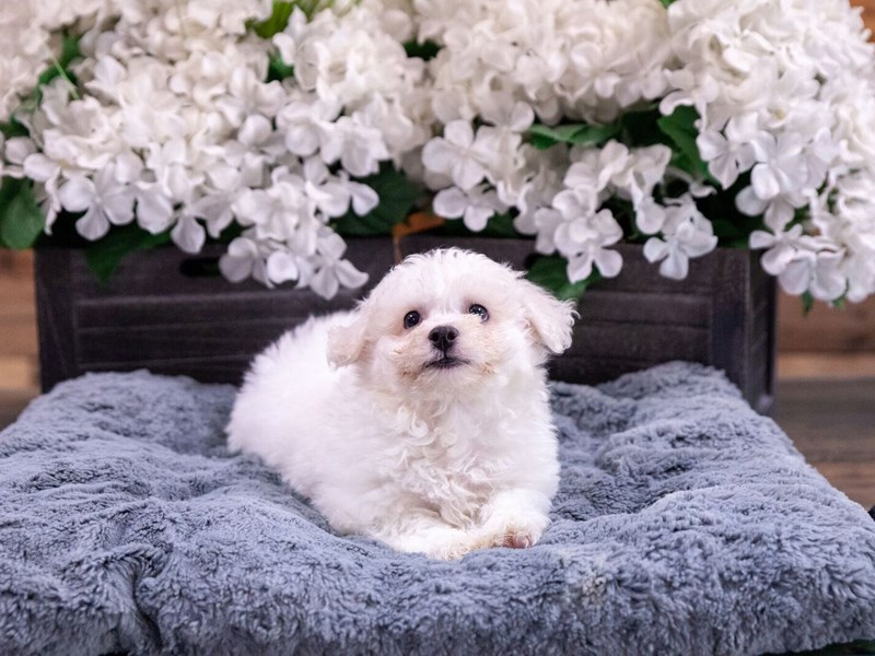 Bichon Frise-Male-white-2418401-The Barking Boutique