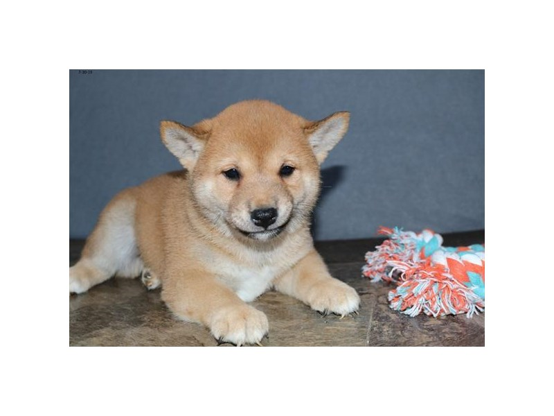 Shiba Inu-Male-Red-2425074-The Barking Boutique