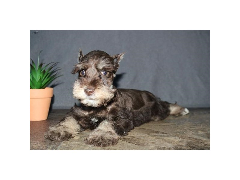 Miniature Schnauzer-Male-Chocolate-2425077-The Barking Boutique