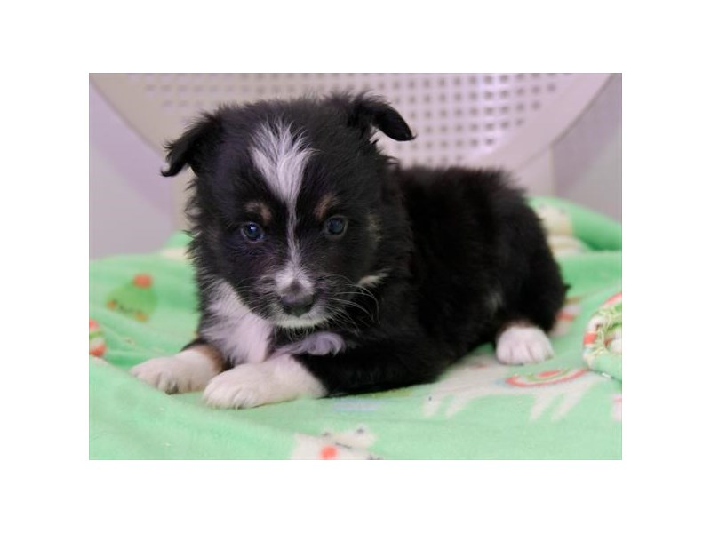 Toy Australian Shepherd-Female-Blue / White-2425240-The Barking Boutique
